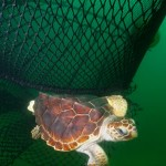 Loggerhead Turtle escaping a net equipped with turtle excluder device (TED) (Photo Credit: NOAA)
