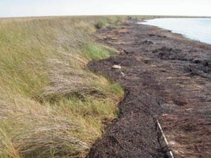 After the 2010 Deepwater Horizon spill, a heavy layer of oiled vegetation mats were preventing the thick emulsified oil underneath from breaking down along Barataria Bay's marshes. (NOAA/Scott Zengel)