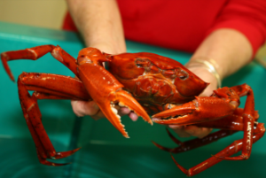 Live deep-sea red crab collected by Dr. Harriet Perry to study effects of the oil spill. Photo: Belinda Serata/NWF