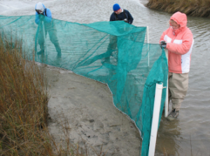 Researchers use a specially designed net to trap animals that use the marsh during high tide.
