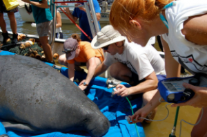 Researchers measure the health of a Florida manatee captured in Mobile Bay, AL before fitting it with a satellite tag.