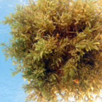 A clump of sargassum floats in the clear blue waters of the Gulf of Mexico. Credit: Seabird McKeon