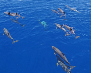Pairs of tropical spotted dolphins in the Gulf of Mexico. (Picture by Steve Murawski)