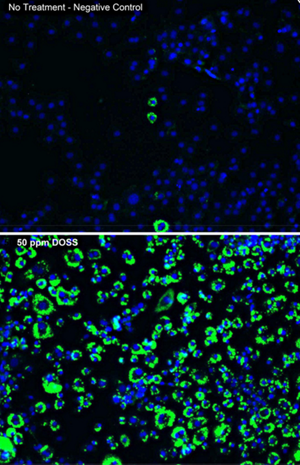 "Images were taken from the fluorescent microscope Lexi used to measure the ""fatness"" of cells. She stained the cells with different colors of fluorescent dyes, which bound to the cell's triglycerides or nuclei. Computer software linked to a fluorescent microscope counted the photons given off by the dyes to count cells and triglyceride levels. Here, cell nuclei are indicated by blue light and triglycerides are indicated by green light. These images depict cells with no exposure to oil or dispersant (above) and cells exposed to DOSS (below). (Provided by: Lexi Temkin)"