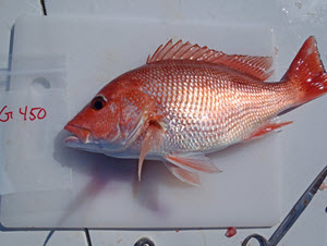 A red snapper collected from Gulf of Mexico waters for oil spill impact studies. (Photo provided by Joseph Tarnecki)