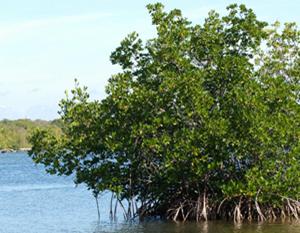 mangroves_a_2086