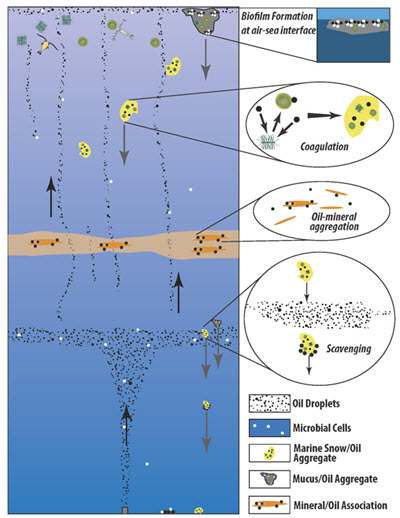 This schematic depicts the interactions between oil, mineral particles, and marine snow in the water column. Oil droplets in the water column can create aggregates with mineral particles and marine snow. These large particles rapidly sink through the water column carrying the oil with them, creating a process that transports oil from the surface to the deep ocean. Sinking particles that pass through sub-surface oil layers can accumulate and carry even more oil to the ocean floor. Meanwhile, oil that reaches the surface can form large mucus-oil aggregates which can also subsequently sink to the ocean floor. (Figure by Adrian Burd).