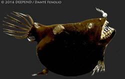 Monster size Angler fish..