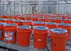 The greenhouse experiment at Tulane University was set up in June 2016 to test how plants and their symbionts work together to clean up oil. (Photo by Stephen Formel)