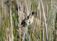A Seaside Sparrow (Ammodramus maritimus) in the salt marshes. (Photo by Andrea Bonisoli Alquati)