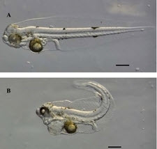 Images of embryonic red drum phenotypes depict A) no oil exposure and B) 48-hours after exposure to high-energy water accommodated fractions from weathered oil collected from a Gulf of Mexico slick in June 2010. Note the increased pericardial area, spinal curvature and altered craniofacial shape between treatments. (Figure 2 in the publication, permission from Andrew Esbaugh).
