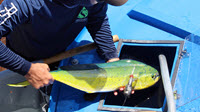 A mahi is loaded into a recovery tank after tagging. (Provided by RECOVER)