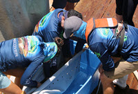 Researchers work together to lower a mahi into an oxygenated bin that will help keep the fish healthy during the tagging process. (Provided by RECOVER)